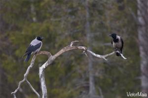 Gralha-cinzenta (Corvus cornix)
