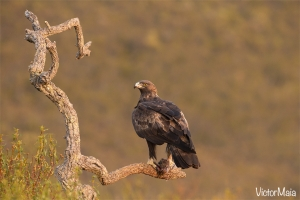 Águia-real (Aquila chrysaetos)