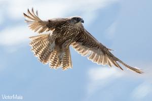 Gerifalte (Falco rusticolus)