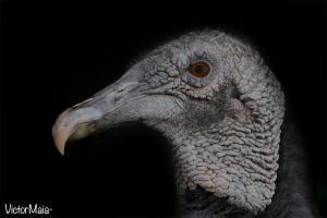 Jote cabeza negra (Coragyps atratus)