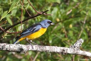 Naranjero (Thraupis bonariensis)