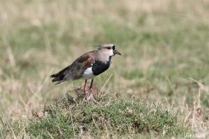 Tero común (Vanellus resplendens)