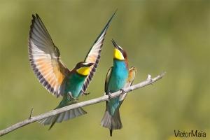 Abelharuco | Bee-eater (Merops apiaster)