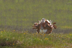 Abetarda | Great Bustard (Otis tarda)