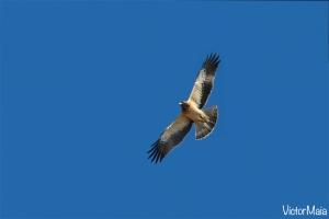 Águia-calçada | Booted Eagle (Hieraaetus pennatus)