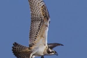Águia-pesqueira | Osprey (Pandion haliaetus)