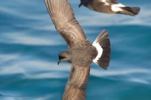 Alma-de-mestre | Storm-petrel (Hydrobates pelagicus)
