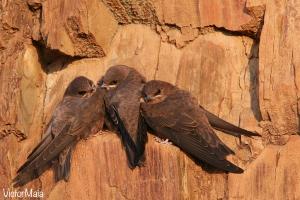 Andorinha-das-rochas (Ptyonoprogne rupestris)