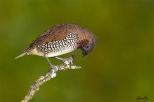 Bico-de-chumbo-malhado (Lonchura punctulata)