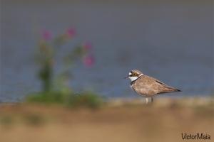 Borrelho-pequeno-de-coleira | Little Ringed Plover (Charadrius dubius)