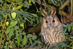 Bufo-pequeno | Long-eared Owl (Asio otus)