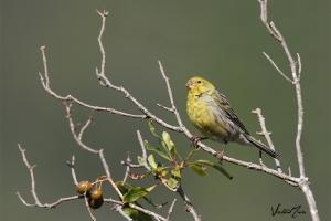 Canário-da-terra | Atlantic Canary (Serinus canaria)