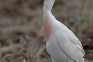 Carraceiro | Cattle Egret (Bubulcus ibis)