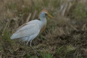 Carraceiro | Cattle Egret (Bubulcus ibis)