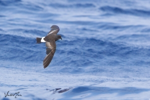 Casquilho | Wilson\'s Storm Petrel (Oceanites oceanicus)