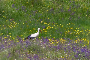 Cegonha-branca | White Stork (Ciconia ciconia)
