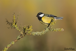 Chapim-real | Great tit (Parus major)