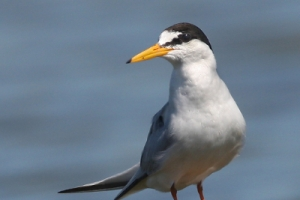 Chilreta | Little Tern (Sterna albifrons)