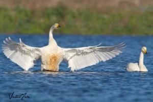 Cisne-bravo | Whooper Swan (Cygnus cygnus)