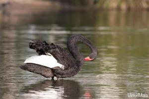 Cisne-preto (Cygnus atratus)