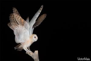 Coruja-das-torres | Barn Owl (Tyto alba)