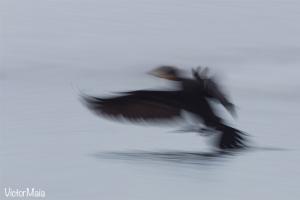 Corvo-marinho | Cormorant (Phalacrocorax carbo)
