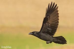 Corvo | Raven (Corvus corax)