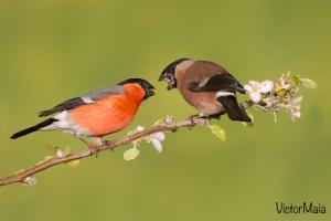 Dom-fafe | Bullfinch (Pyrrhula pyrrhula)