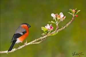Dom-fafe   Bullfinch (Pyrrhula pyrrhula)