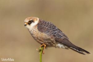 Facão-vespertino  (Falco vespertinus)
