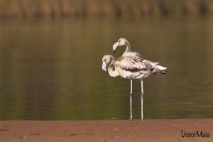 Flamingo | Greater Flamingo (Phoenicopterus ruber)