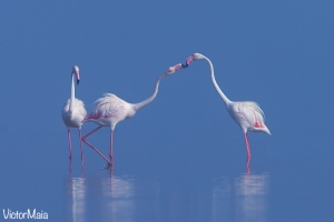 Flamingo | Greater Flamingo (Phoenicopterus ruber)