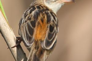 Fuínha-dos-juncos | Zitting Cisticola (Cisticola juncidis)