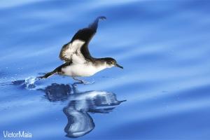 Fura-bucho-do-atlântico | Manx Shearwater (Puffinus puffinus)