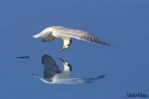 Garajau-comum | Common Tern (Sterna hirundo)