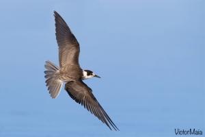 Gaivina-preta | Black Tern (Chlidonias niger)