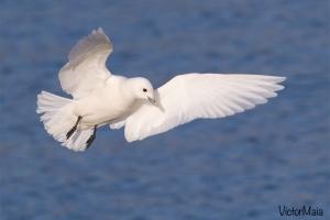 Gaivota marfim - Pagophila eburnea - Ivory gull