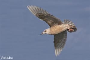Gaivota-branca | Iceland gull (Larus glaucoides)
