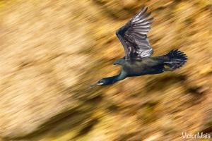 Galheta | European Shag (Phalacrocorax aristotelis)