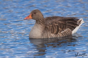 Ganso-bravo | Greylag Goose (Anser anser)