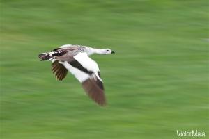 Ganso-de-magalhães | Upland Goose (Chloephaga picta)