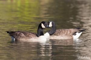Ganso do Canadá, Canada goose (Branta canadensis)