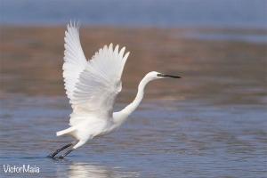 Garça-branca | Little Egret (Egretta garzetta)