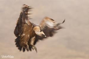Grifo | Griffon Vulture (Gyps fulvus)