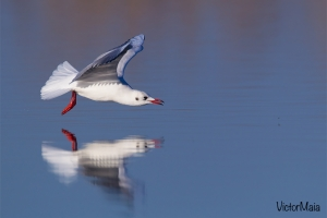 Guincho | Black-Headed Gull (Larus ridibundus)