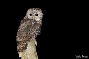 Coruja-do-mato | Tawny Owl (Strix aluco)