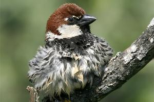 Pardal-espanhol (Passer hispaniolensis)
