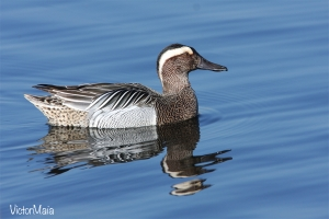 Marreco | Garganey (Anas querquedula)