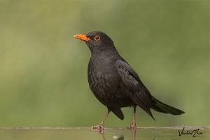 Melro | Blackbird (Turdus merula)
