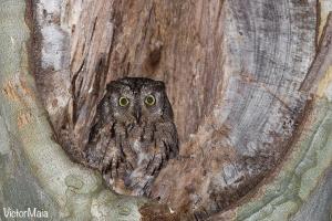 Mocho-d\'orelhas | Scops Owl (Otus scops)
